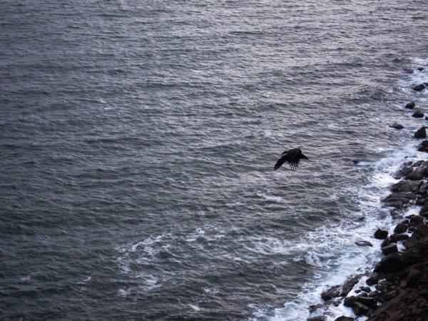 A crow flying from the ocean to the cliffs near Söpa Choling