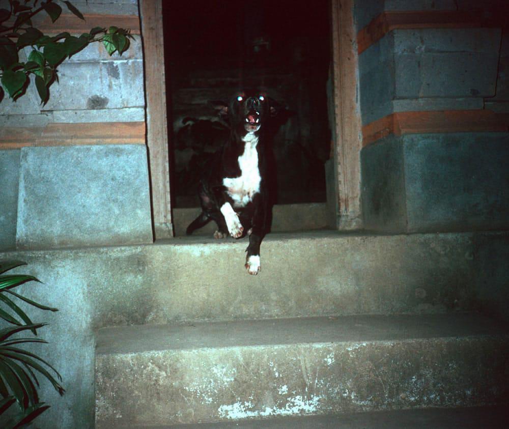 Annoyed dog, Bali 1991